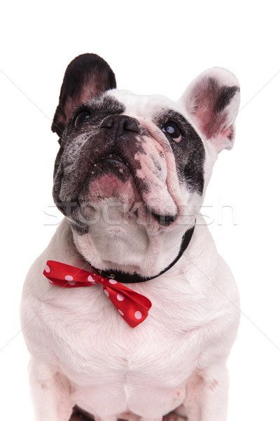 black and white french bulldog wearing bowtie looks up  Stock photo © feedough