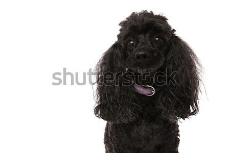 Triste piccolo nero barboncino isolato bianco Foto d'archivio © feedough