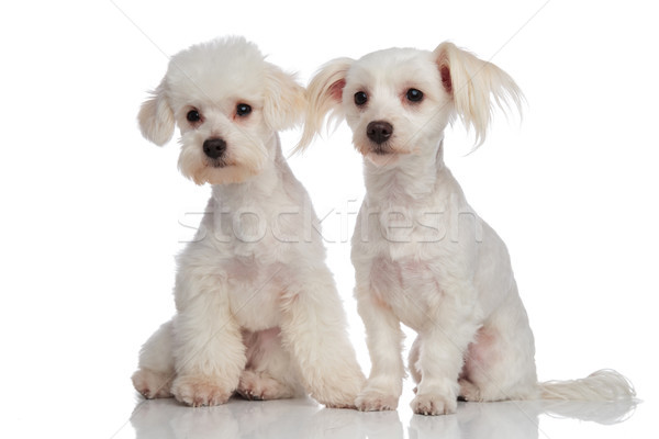 adorable curious bichon couple looking to side Stock photo © feedough