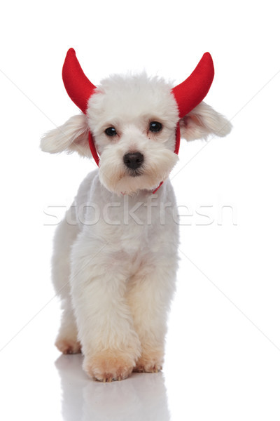 funny bichon dressed as devil for halloween stepping on white ba Stock photo © feedough