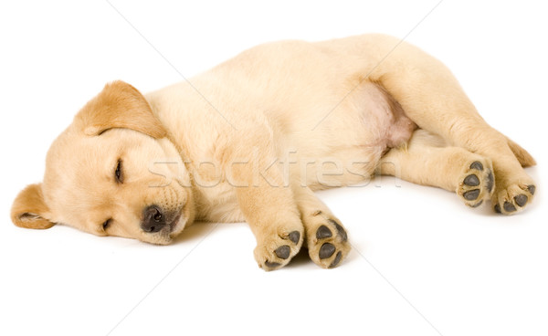 Labrador retriever cachorro dormir adorable blanco retrato Foto stock © feedough