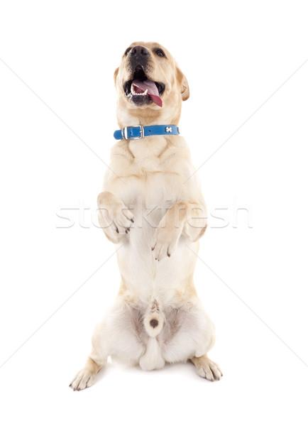 labrador making a trick Stock photo © feedough