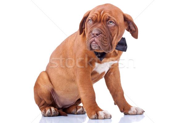 profile of a french mastiff  Stock photo © feedough