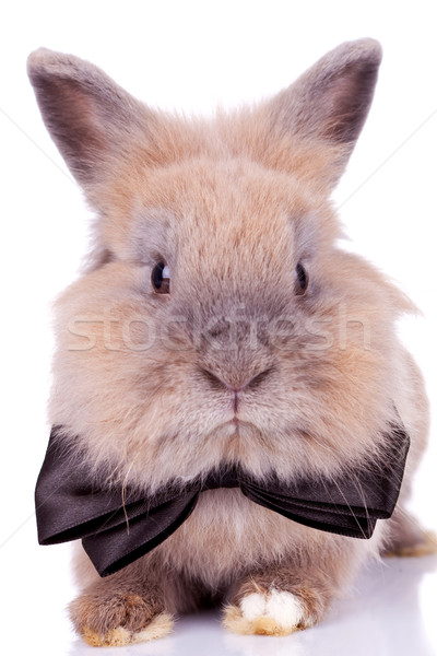 adorable rabbit with bow tie Stock photo © feedough