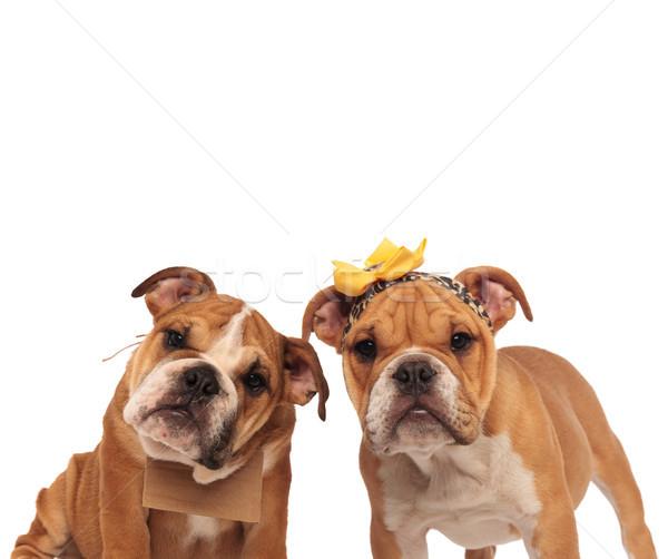 Bruin Engels bulldog paar naar camera Stockfoto © feedough