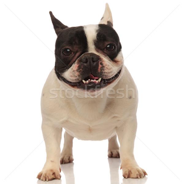 Boldog francia bulldog zihálás áll fehér Stock fotó © feedough