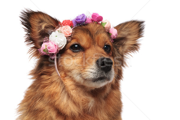 brown dog head with colorful flowers crown looking to side Stock photo © feedough