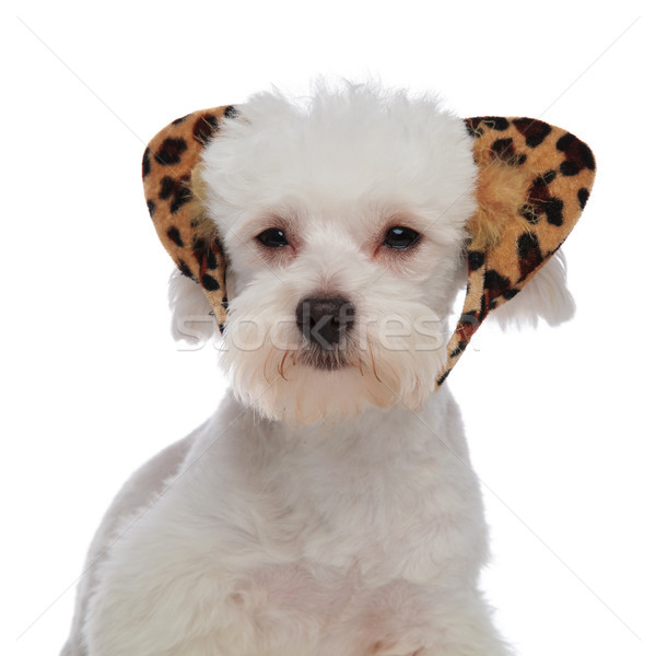 close up of lovely white bichon with leopard ears headband Stock photo © feedough