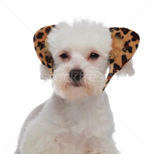 Biały leopard kłosie psa wydruku Zdjęcia stock © feedough