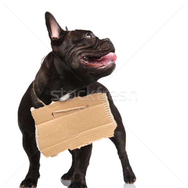 poor beggar french bulldog looking up to side Stock photo © feedough