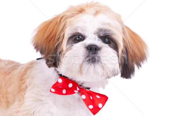 head of a cute shih tzu puppy Stock photo © feedough