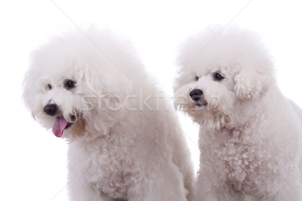 curious dogs Stock photo © feedough