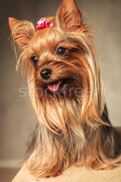 Feliz yorkshire terrier cachorro perro Foto stock © feedough