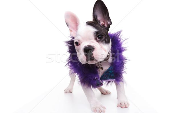 fashion french bulldog puppy dog wearing purple furry jacket Stock photo © feedough