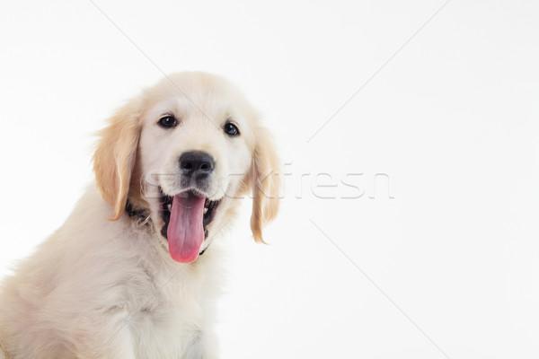 ラブラドル·レトリーバー犬 子犬 開口部 クローズアップ ストックフォト © feedough