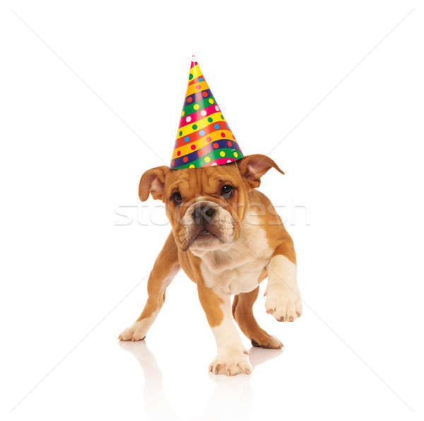 english bulldog puppy walking while wearing a party hat Stock photo © feedough