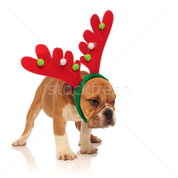 side view of a  english bulldog puppy wearing reindeer headband  Stock photo © feedough