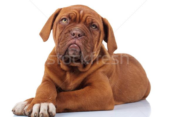 Belo francês mastim cachorro cão Foto stock © feedough