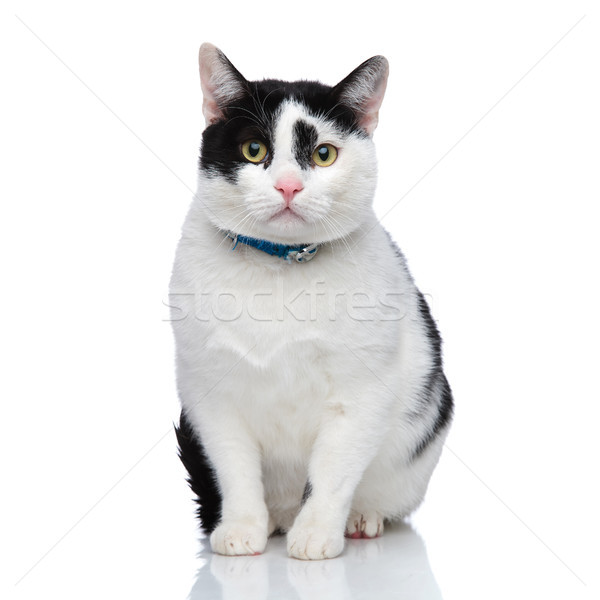 cute seated cat wearing a blue collar Stock photo © feedough
