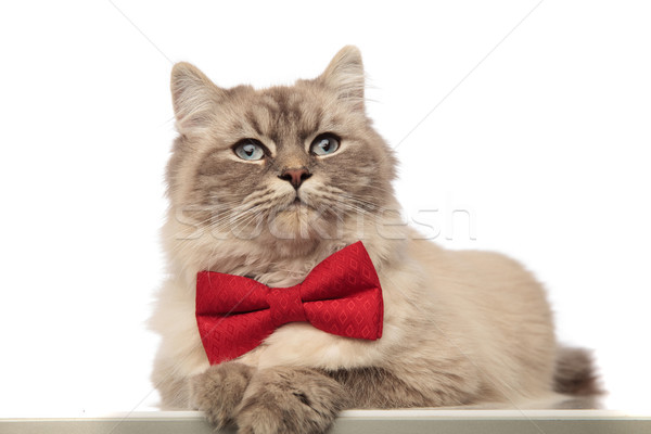 classy grey cat with red bowtie lying with paws hanging  Stock photo © feedough