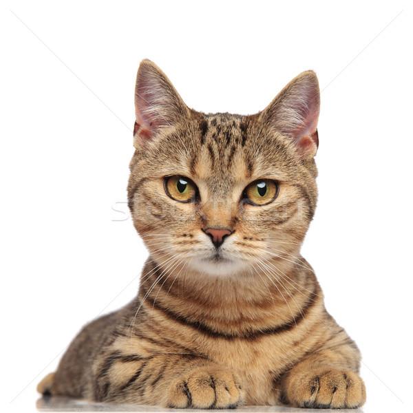 портрет Cute британский кошки черный Сток-фото © feedough