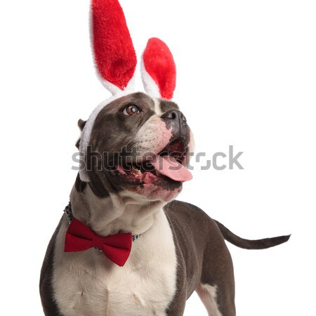 cute stylish french bulldog dressed as the devil looks up Stock photo © feedough