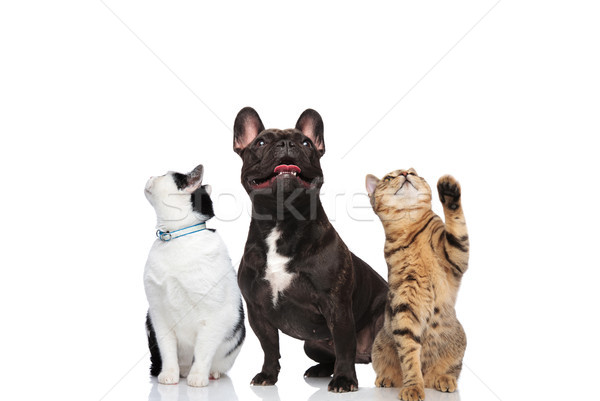 two adorable cats and a french bulldog look up Stock photo © feedough