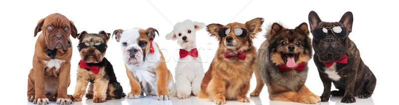 many gentlemen dogs with bowties on white background Stock photo © feedough