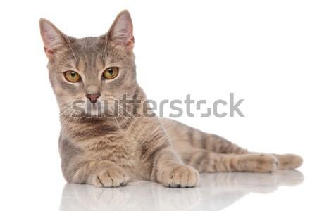 lying grey metis cat with yellow eyes Stock photo © feedough