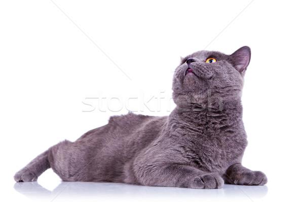 Foto stock: Grande · Inglés · gato · vista · lateral · mirando