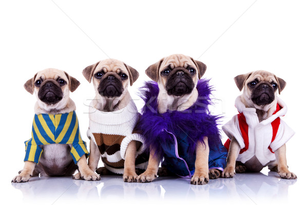 four dressed mops puppy dogs Stock photo © feedough