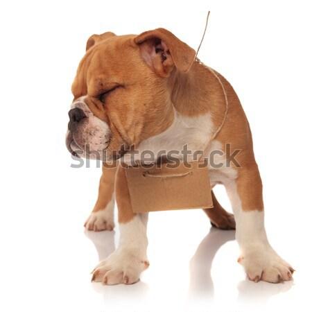 Hungarian Vizsla pointer puppy Stock photo © feedough