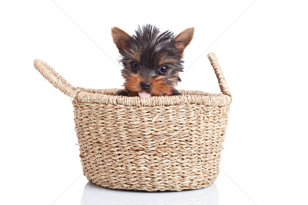 toy yorkie sitting in a small basket Stock photo © feedough
