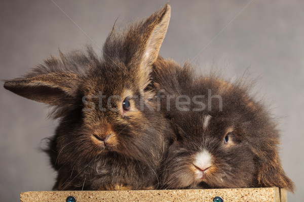 Two furry lion head rabbit bunnys lying together Stock photo © feedough