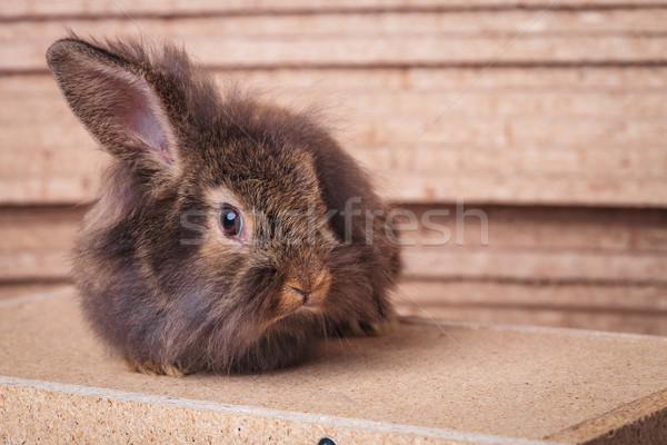 Single lion head rabbit bunny sitting Stock photo © feedough