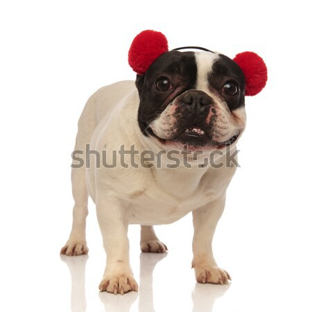 curious french bulldog wearing hat looks up  Stock photo © feedough
