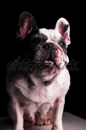 happy french bulldog wearing hat with red flower Stock photo © feedough