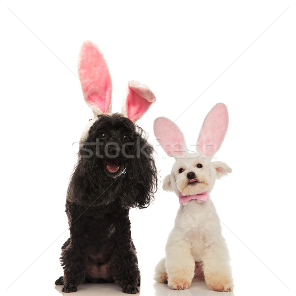 happy poodle and bichon dogs wearing bunny ears  Stock photo © feedough