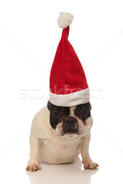 seated french bulldog wearing a straight santa cap Stock photo © feedough