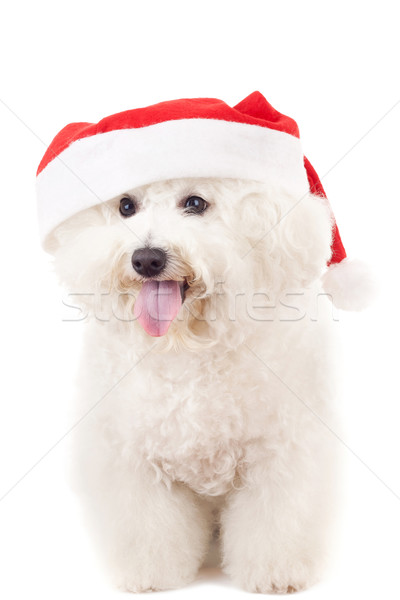 bichon frise in a santa claus hat  Stock photo © feedough