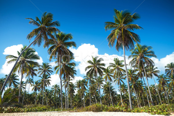 palm trees forest on the beach of punta cana stock photo viorel