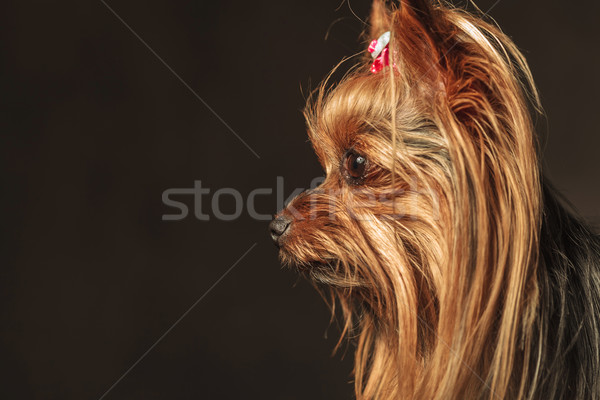 side view of an adorable yorkie puppy looking to something Stock photo © feedough
