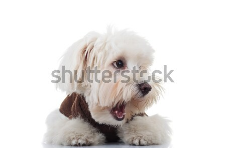 amazed bichon puppy dog looks to side with mouth open Stock photo © feedough