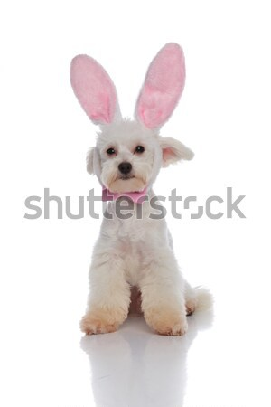 cute little bichon with pink bowtie and bunny ears sitting Stock photo © feedough