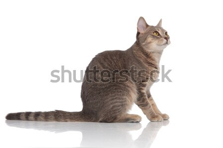 adorable grey cat sitting and looking up to side Stock photo © feedough