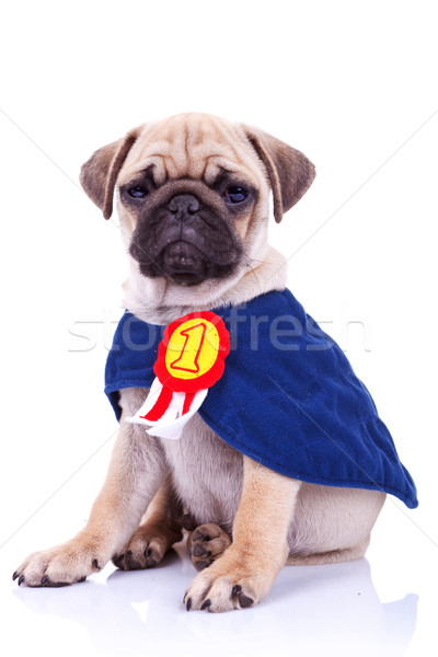 cute little pug puppy dog champion Stock photo © feedough