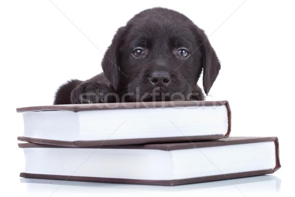 Akıllı küçük Labrador uykulu siyah laboratuvar Stok fotoğraf © feedough