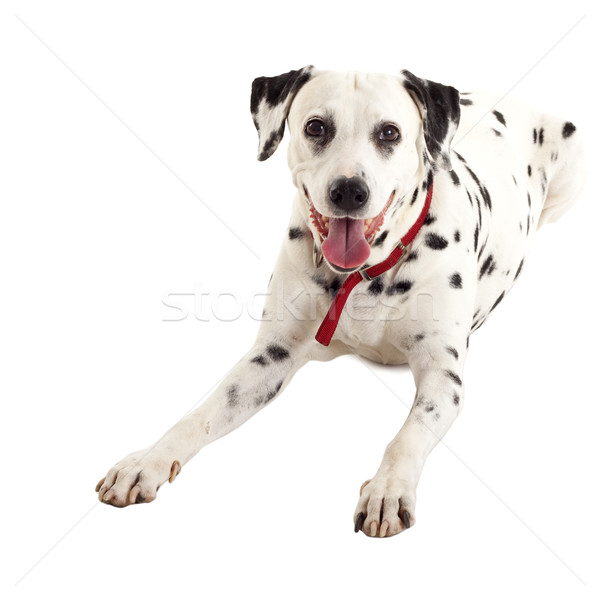 seated dalmatian female Stock photo © feedough