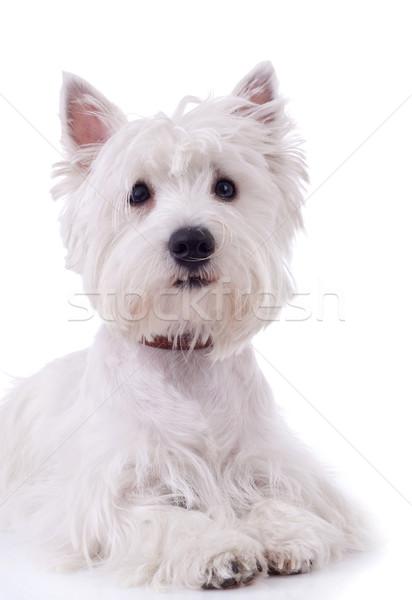 West witte terriër achtergrond portret dier Stockfoto © feedough