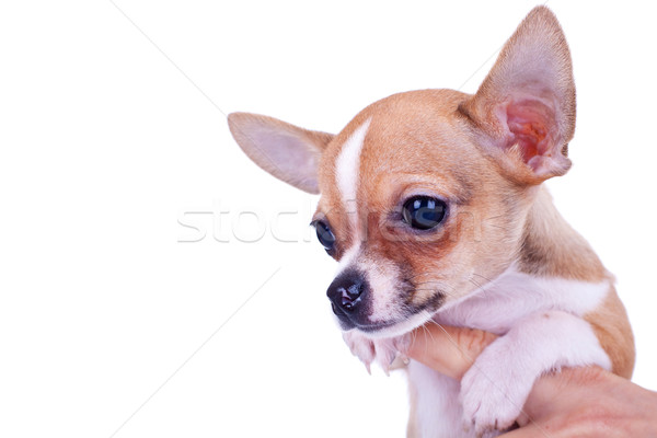 Chihuahua small puppy  Stock photo © feedough